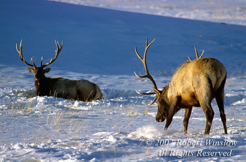 Two Bull Elk (Cervus canadensis) One Elk Pawing the Ground for Food, Winter, Yellowstone National Park, Wyoming, USA