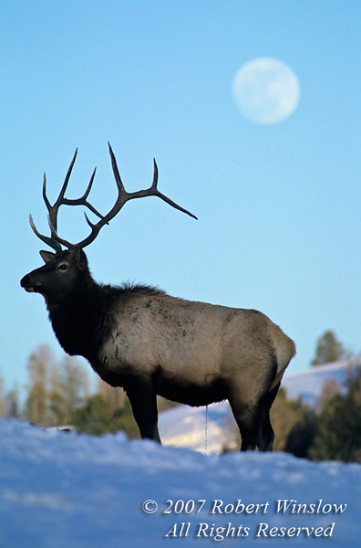 Bull Elk (Cervus canadensis) Peeing, Winter, Yellowstone National Park, Wyoming, USA, North America