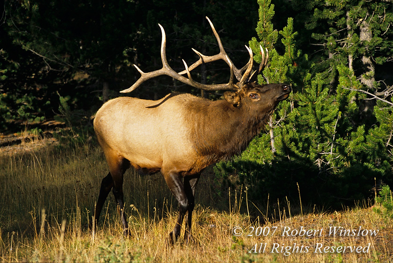 Bull Elk (Cervus canadensis), Autumn, Yellowstone National Park, Wyoming, USA
