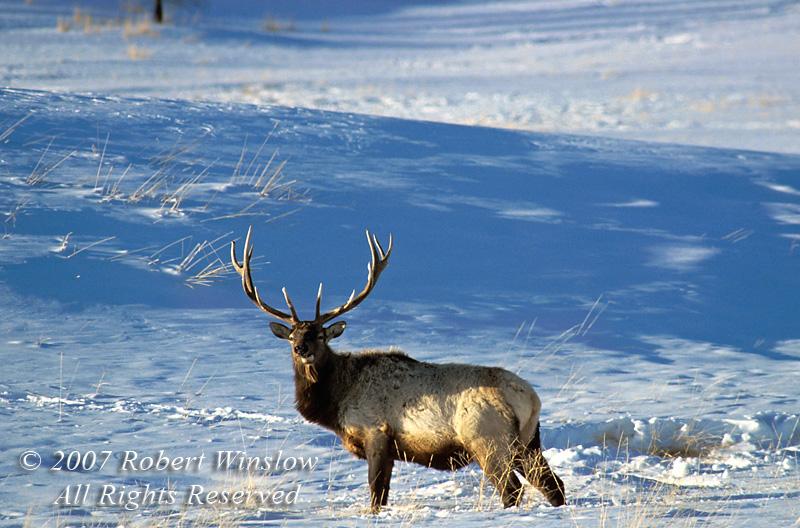 Bull Elk (Cervus canadensis), Winter, Yellowstone National Park, Wyoming, USA