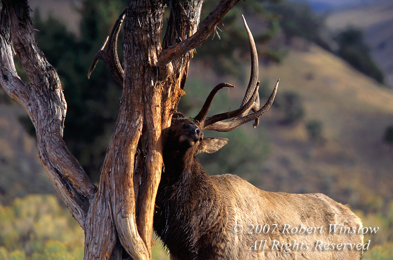 Bull Elk (Cervus canadensis), Rubbing on a Tree,  Autumn, Yellowstone National Park, Wyoming, USA