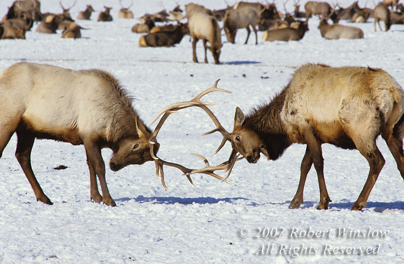 Two Sparring Bull Elk (Cervus canadensis), Winter, National Elk Refuge, Wyoming, USA