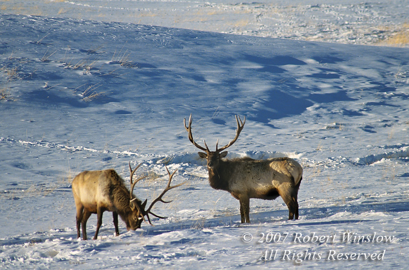 Two Bull Elk (Cervus canadensis), Winter, Yellowstone National Park, Wyoming, USA