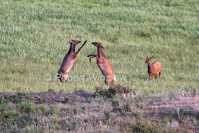 Two Mature Cow  Elk sparing while one Bull Elk watches, La Plata County, Colorado