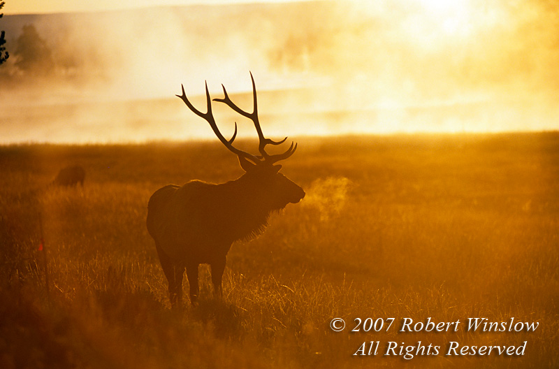Bull Elk (Cervus canadensis), Early Morning Mist, Autumn, Yellowstone National Park, Wyoming, USA