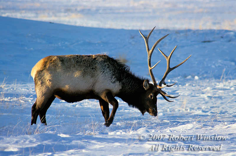 Bull Elk (Cervus canadensis), Pawing Ground for Food, Winter, Yellowstone National Park, Wyoming, USA, North America