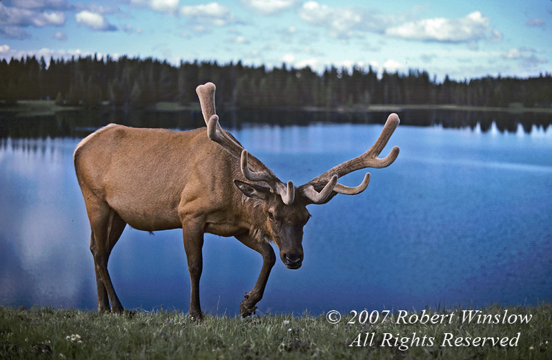 Bull Elk (Cervus canadensis), Springtime, Yellowstone National Park, Wyoming, USA