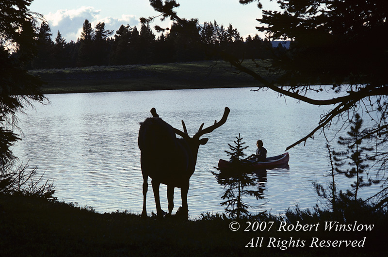 Bull Elk (Cervus canadensis), Canoer, Yellowstone National Park, Wyoming, USA