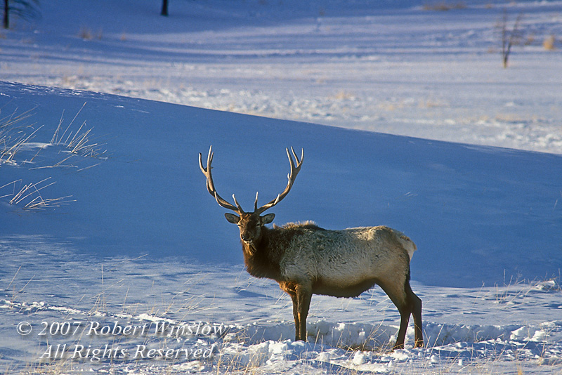 Bull Elk (Cervus canadensis), Winter, Yellowstone National Park, Wyoming, USA, North America