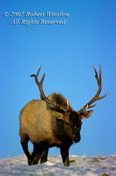 Bull Elk (Cervus canadensis), Winter, Yellowstone National Park, Wyoming, USA