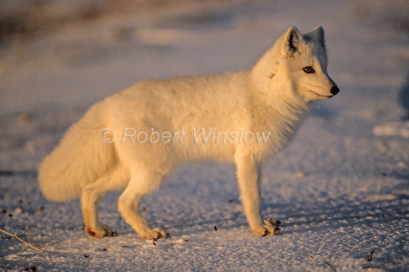 Arctic Fox, Alopex lagopus, aka, Vulpes lagopus, Northern Manitoba, Canada, North America