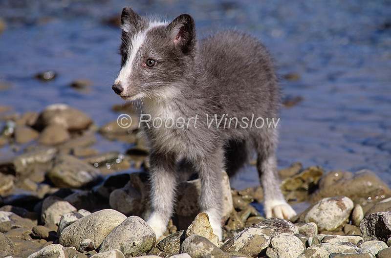 Young Arctic Fox, Alopex lagopus, or Vulpes lagopus, Summer coat, controlled conditions