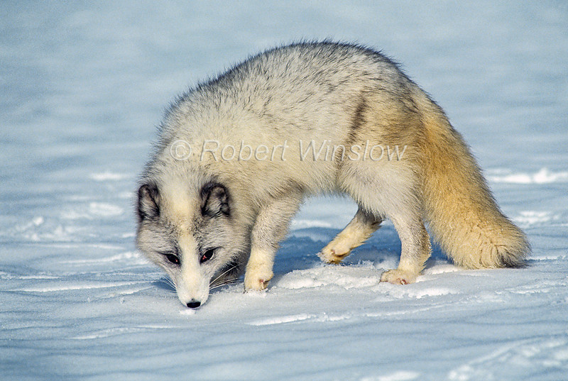 Young Arctic Fox, Alopex lagopus, or Vulpes lagopus, Fall Coat, Snow, controlled conditions