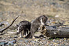 Two Young Arctic Fox, Alopex lagopus, or Vulpes lagopus, Summer coat, controlled conditions