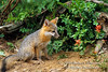 Gray Fox Kit at a Den site, Young are also called Pups or Cubs, Urocyon cinereoargenteus, Controlled Conditions