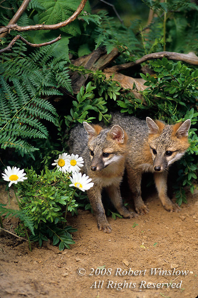 Two Gray Fox Kits at a Den site, Young are also called Pups or Cubs, Urocyon cinereoargenteus, Controlled Conditions