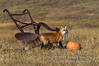Red Fox, Vulpes vulpes, With a Pumpkin in a Field, Autumn, Controlled Conditions