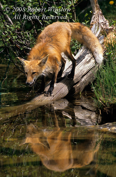 Red Fox, Vulpes vulpes, At Water's Edge, Trying to get a Drink, Controlled Conditions