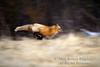Running Red Fox, Vulpes vulpes, Controlled Conditions