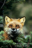 Red Fox, Vulpes vulpes, Controlled Conditions