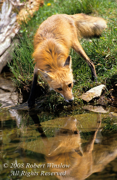 Red Fox, Vulpes vulpes, At Water's Edge, Trying to Drink, Controlled Conditions