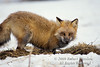 Red Fox, Vulpes vulpes, On Snow, Winter, Controlled Conditions