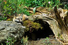 Red Fox Kit at a Den site, Young are also called Pups or Cubs, Vulpes vulpes, Controlled Conditions