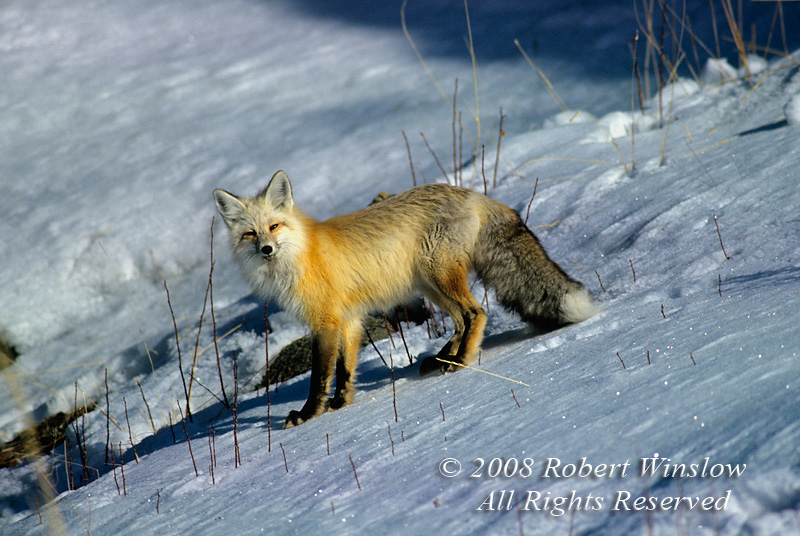 Red Fox, Vulpes vulpes, Winter, Yellowstone National Park, Wyoming, USA, North America
