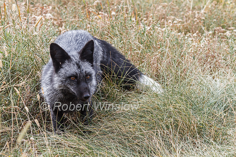 Silver Fox, Vulpes vulpes,  melanistic form of red fox, Controlled Conditions, Idaho, USA, North America