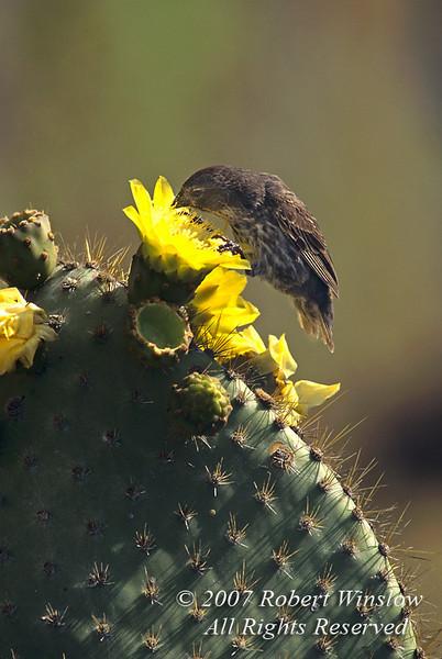 Female, Darwin's Cactus Finch, Geospiza scandens, Galapagos Islands, Ecuador, Passeriformes Order, family Emberizidae or Fringillidae