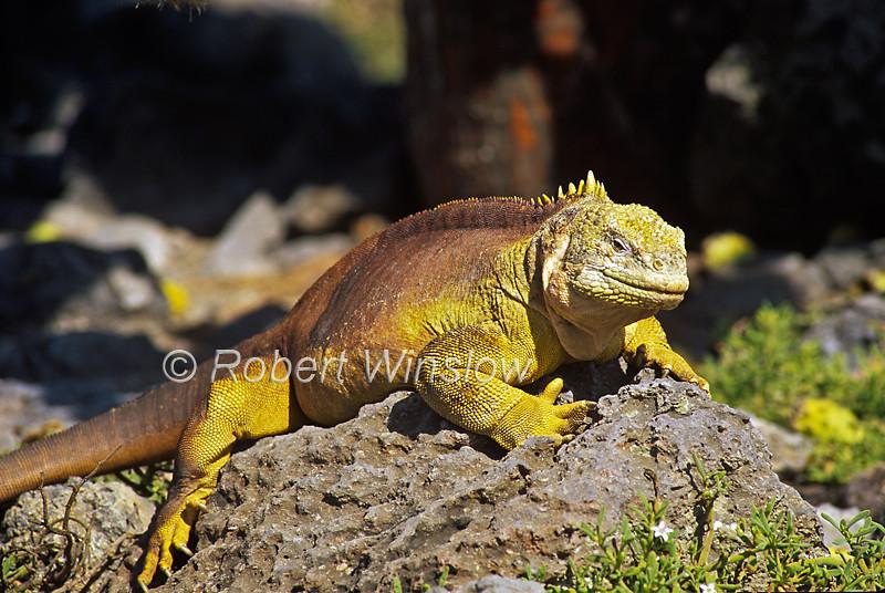 Galapagos Land Iguana, Conolophus subscristatus, Galapagos Isands, Ecuador, South America, Pacific Ocean, Vulnerable Species