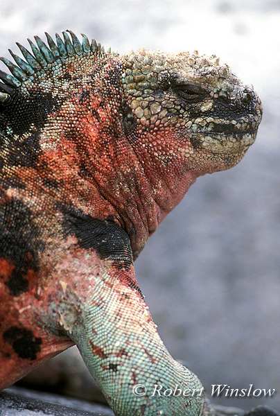 Marine Iguana (Amblyrhynchus cristatus), Espanola Island, Galapagos Islands, Ecuador