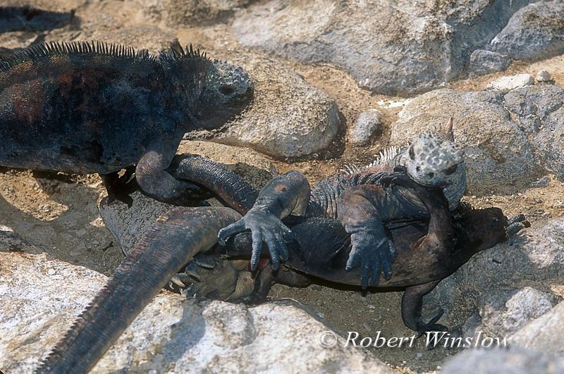 Mating marine Iguanas (Amblyrhynchus cristatus), Galapagos Islands, Ecuador