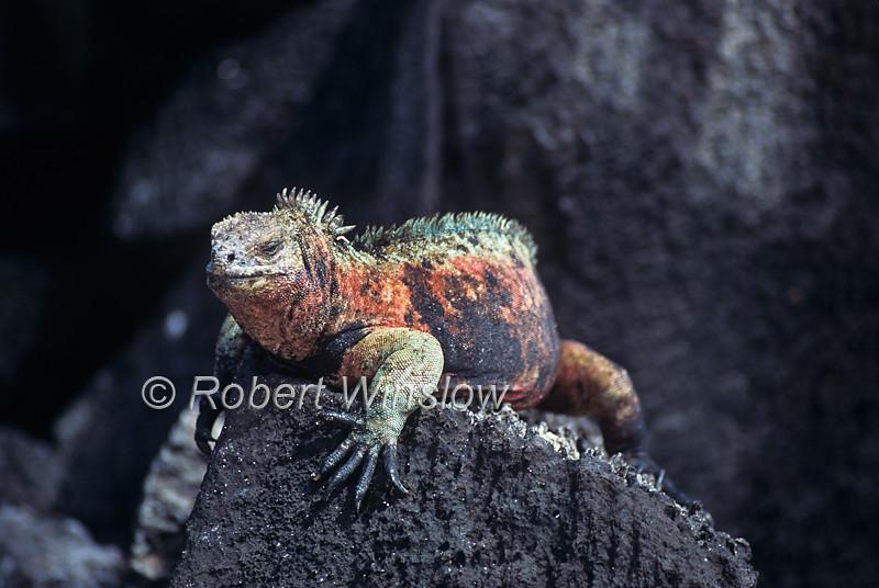 Marine Iguana, Amblyrhynchus cristatus,  Espanola Island, Galapagos Islands, Ecuador, South America, Pacific Ocean, vulnerable species