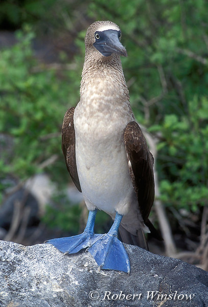 Blue-Footed Booby (Sula nebouxi), Galapagos Islands, Ecuador