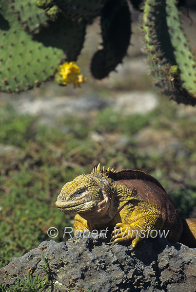 Galapagos Land Iguana, Conolophus subscristatus, Galapagos Isands, Ecuador, South America, Pacific Ocean, Vulnerable Species