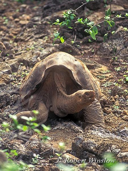 """Lonesome George"", Galapagos Tortoise (Geochelone elephantopus abingdoni), Charles Darwin Research Station, Santa Cruz Island, Galapagos Islands, Ecuador"