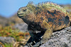 Marine Iguana, Amblyrhynchus cristatus, Galapagos Islands, Ecuador, South America, Pacific Ocean, vulnerable species