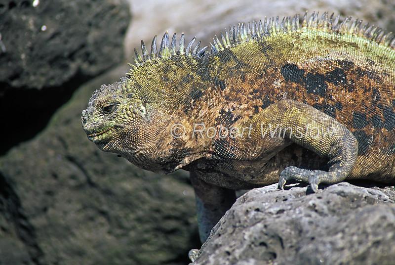 Marine Iguana, Amblyrhynchus cristatus, Galapagos Islands, Ecuador, South America, Pacific Ocean, vulnerable species