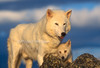Arctic Gray Wolf, Adult Male and Pup, Canis lupus, United States, North America, Controlled Conditons