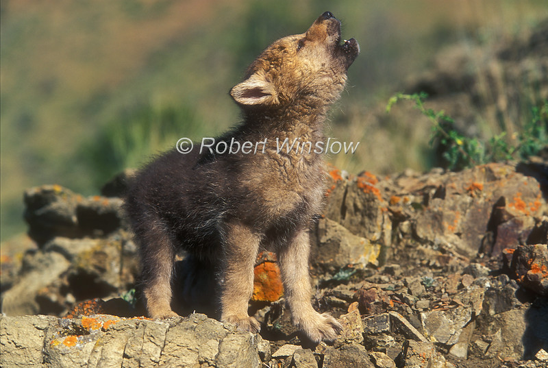 Young Gray Wolf Pup Howling, Canis lupus, Controlled Conditions