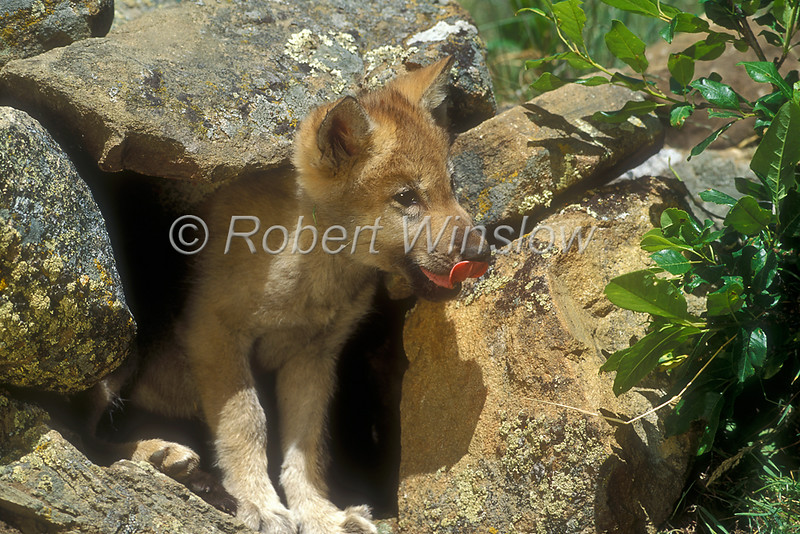Young Gray Wolf Pup at a Den Site, Canis lupus, Controlled Conditions