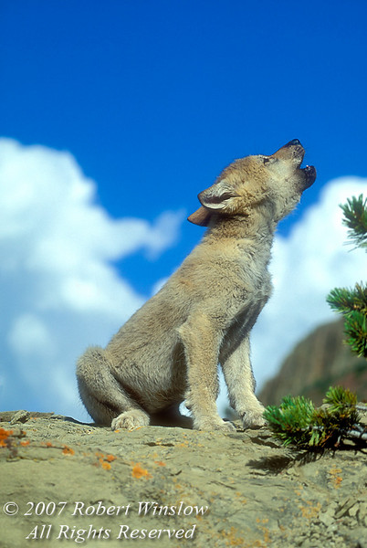 Howling Young Gray Wolf Pup (Canis lupus), Controlled Conditions