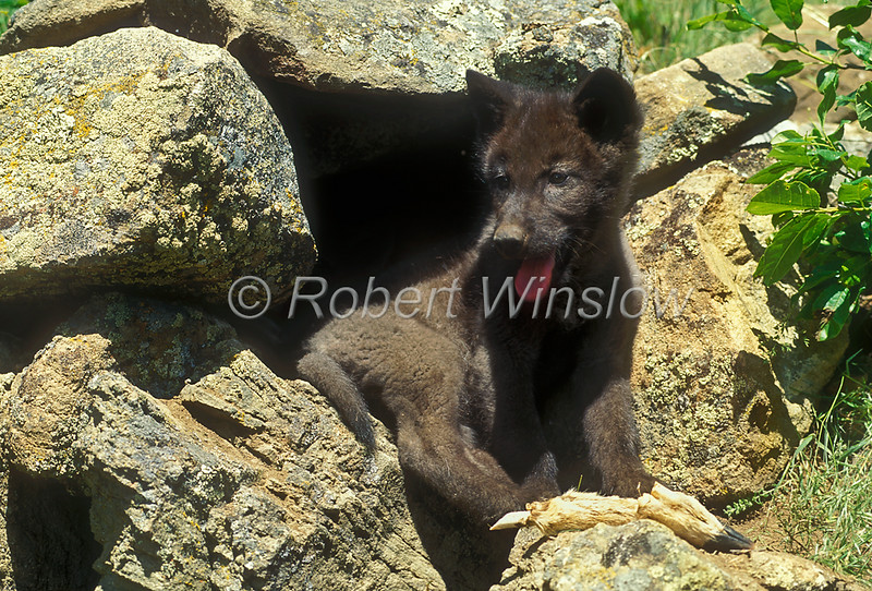 Young Gray Wolf Pup, Canis lupus,  at a Den Site, Deer leg bone in foreground, Controlled Conditions