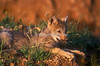 Young Gray Wolf Pup Chewing on a piece of Grass, Canis lupus, Controlled Conditions