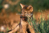 Young Gray Wolf Pup Biting on some Vegetation, Canis lupus, Controlled Conditions