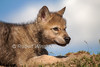 Seven weeks old, Gray Wolf Pup, Canis lupus, Controlled Conditions