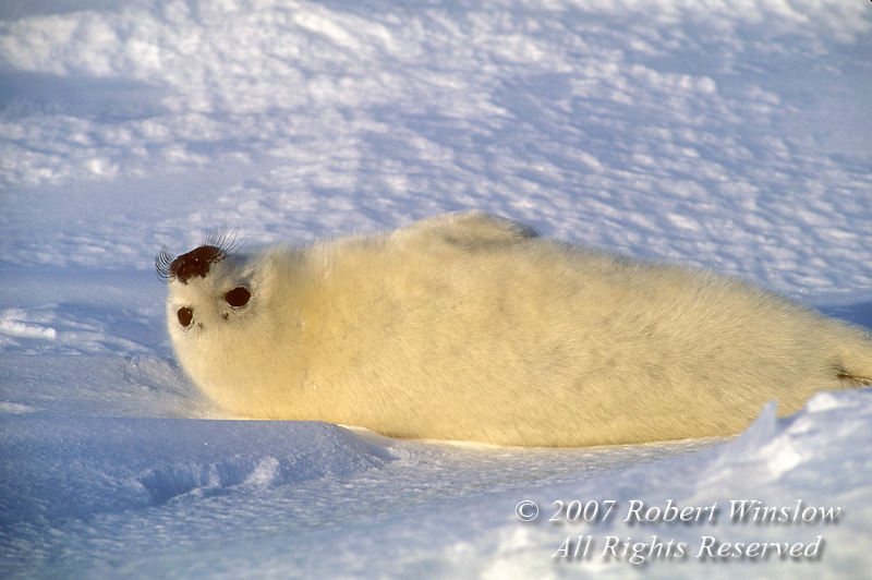 Harp Seal Pup Lying on Its Back, (Pagophilus groenlandicus) formerly known as (Phoca groenlandica), on Pack Ice, Gulf of St. Lawrence, Eastern Canada, Quebec