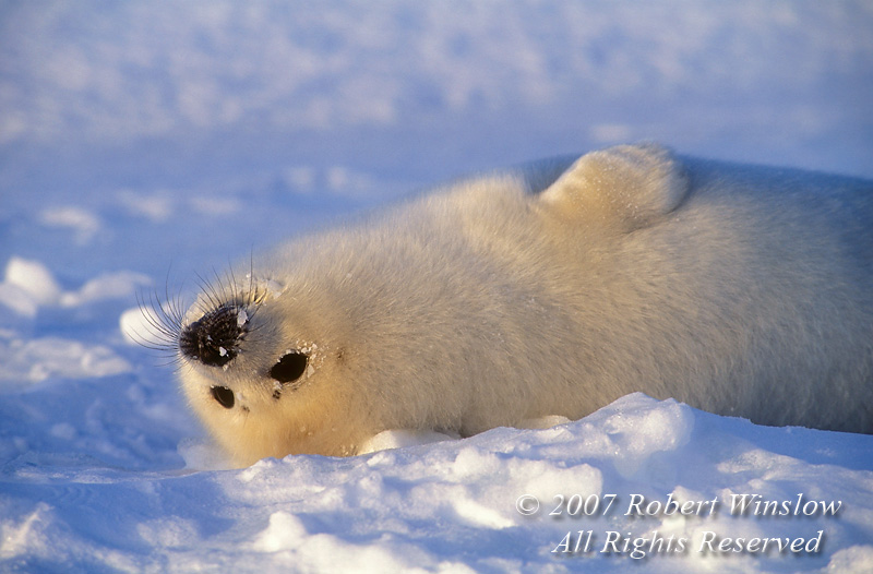 Harp Seal Pup (Pagophilus groenlandicus) formerly known as (Phoca groenlandica), Lying on Its Back, on Pack Ice, Gulf of St. Lawrence, Eastern Canada, Quebec