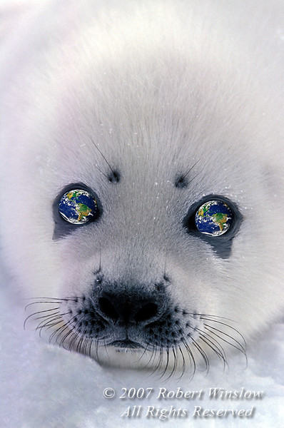 Harp Seal Pup With Planet Earth in Its Eyes (Pagophilus groenlandicus) formerly known as (Phoca groenlandica), on Pack Ice, Gulf of St. Lawrence, Eastern Canada, Quebec